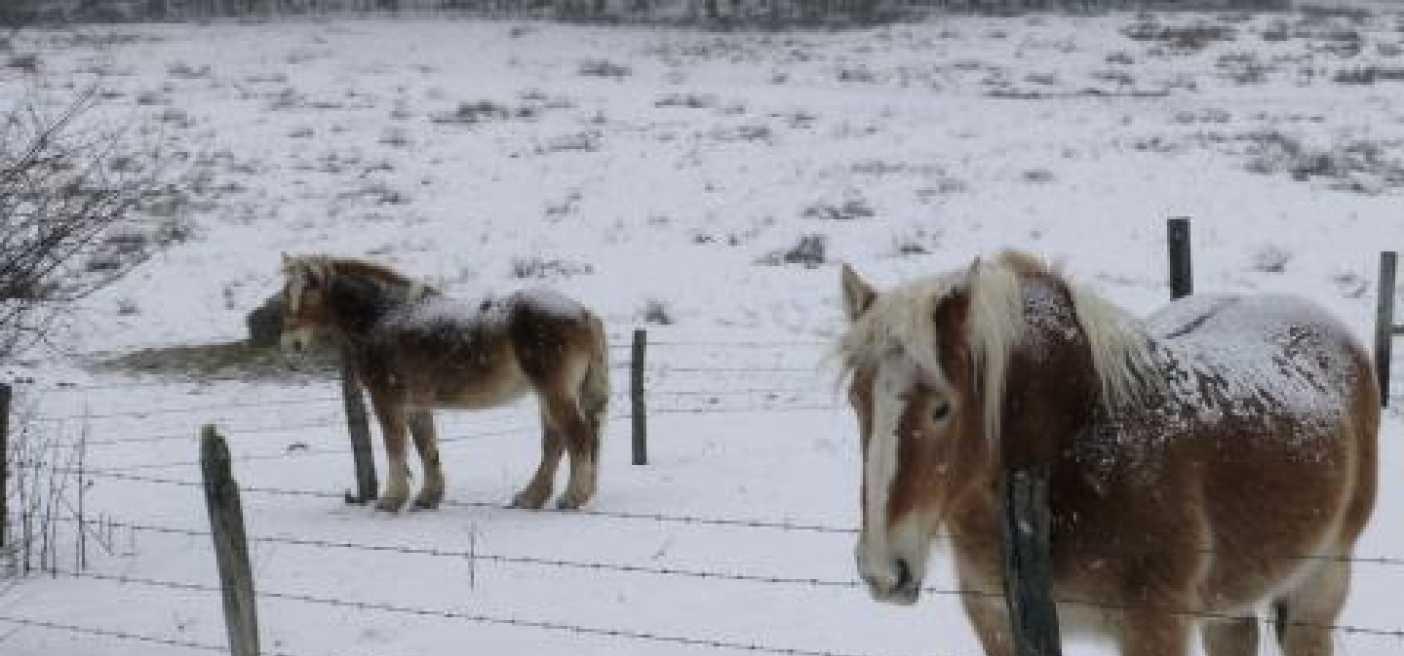 Arkliai ant sniego